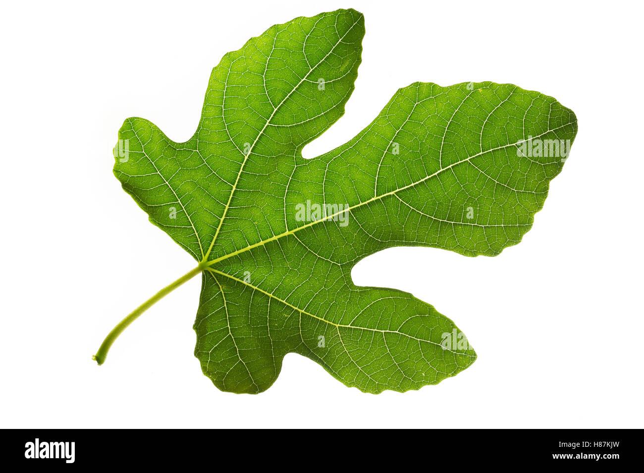 Feige, Echte Feige, Feigenbaum, Feigenblatt, Ficus carica, Fig, Figuier, Figuier comestible, Figuier commun. Blatt, Stock Photo