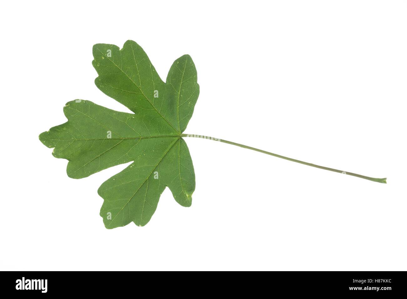Feld-Ahorn, Feldahorn, Ahorn, Acer campestre, Field Maple, Hedge Maple, Erable champêtre. Blatt, Blätter, - Stock Image