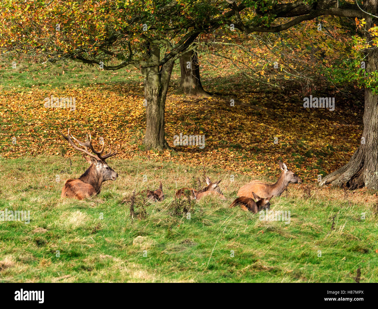 Red Deer at Studley Royal Deep Park in Autumn Ripon Yorkshire England - Stock Image