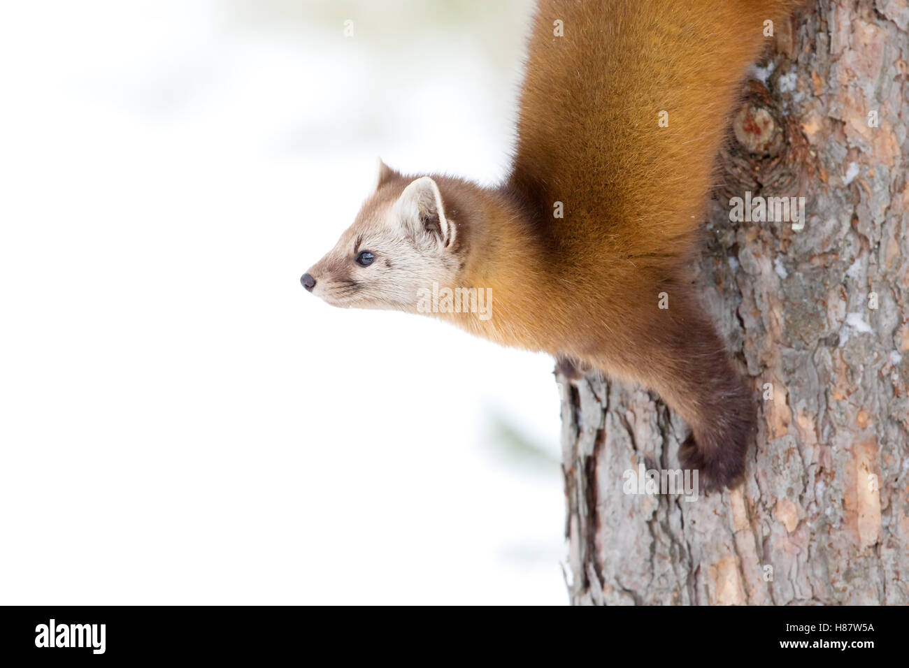 Pine marten climbing down tree in Algonquin Park in winter in Canada - Stock Image
