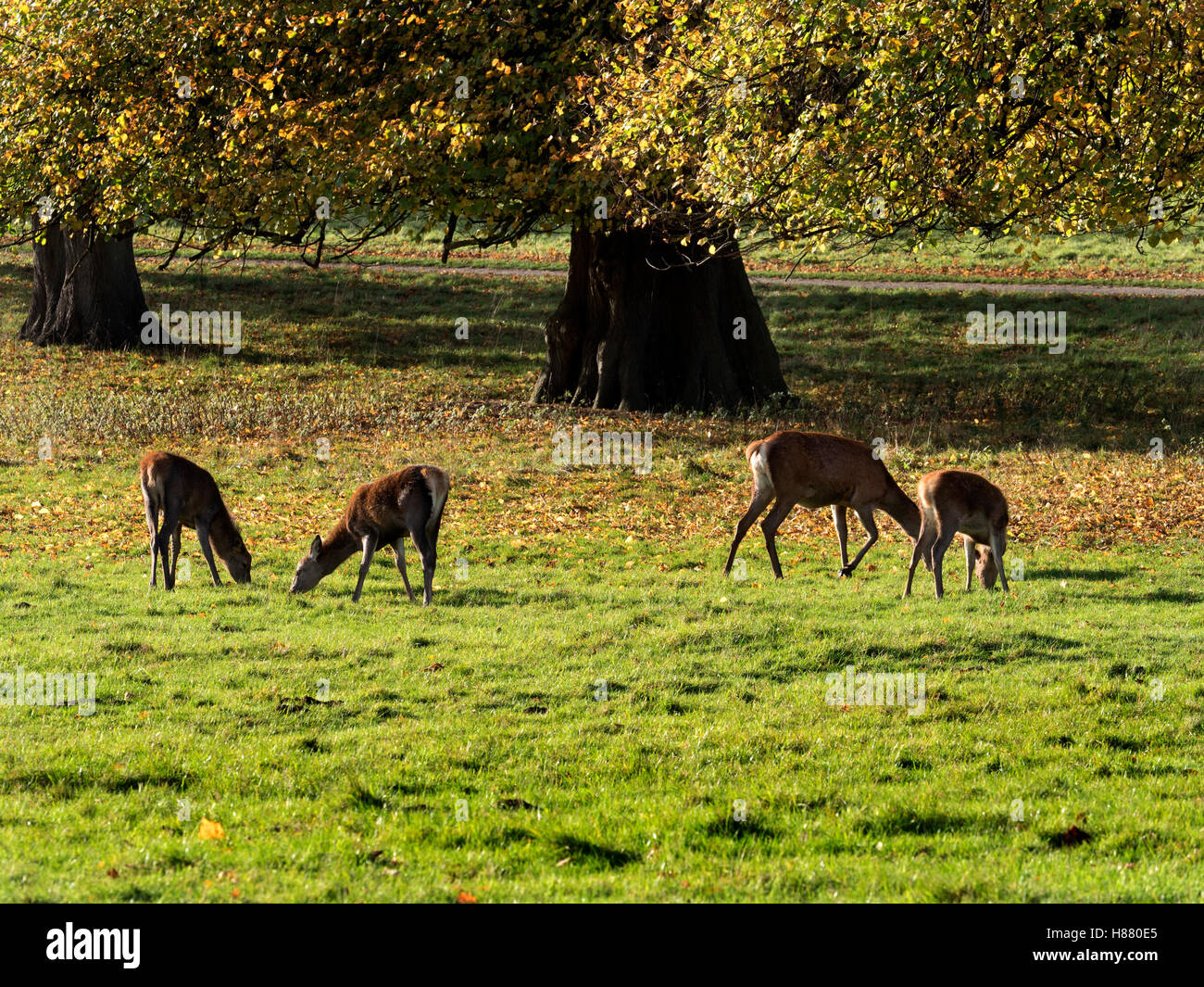 Red Deer Grazing at Studley Royal Deer Park in Autumn Ripon Yorkshire England - Stock Image
