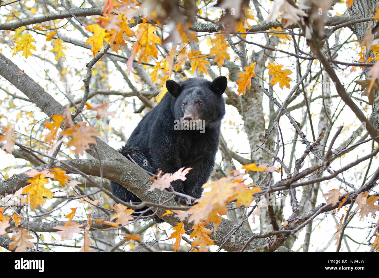 Black bear in a tree in autumn in Canada - Stock Image
