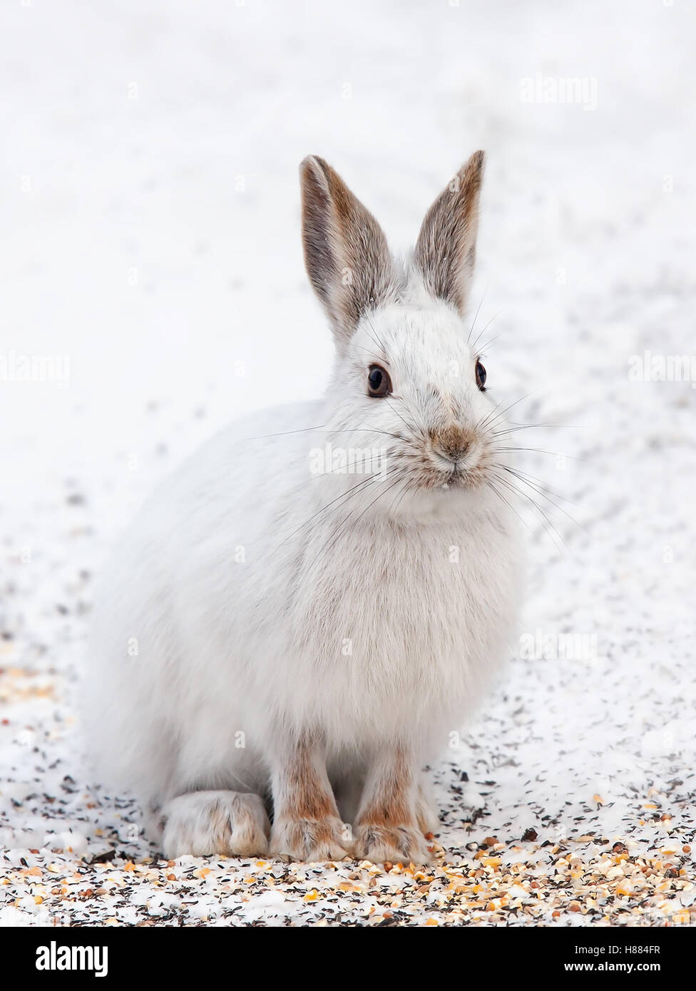 Snowshoe hare or Varying hare (Lepus americanus) in winter in Canada - Stock Image