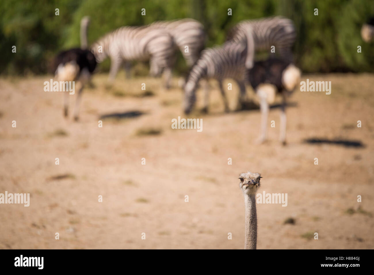 Ostrich in a national park with defocused animals on the background. Stock Photo