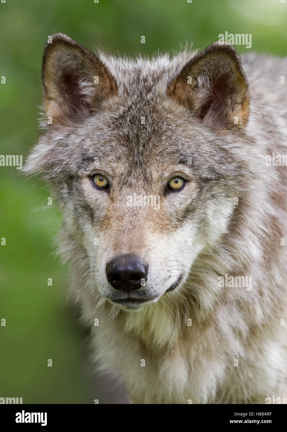 Timber wolf or Grey Wolf (Canis lupus) in autumn in Canada - Stock Image
