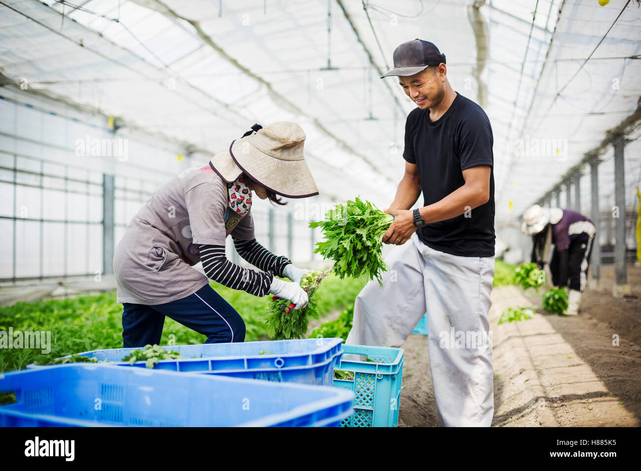 Two people working in a greenhouse harvesting a commercial food crop, the mizuna vegetable plant. - Stock Image