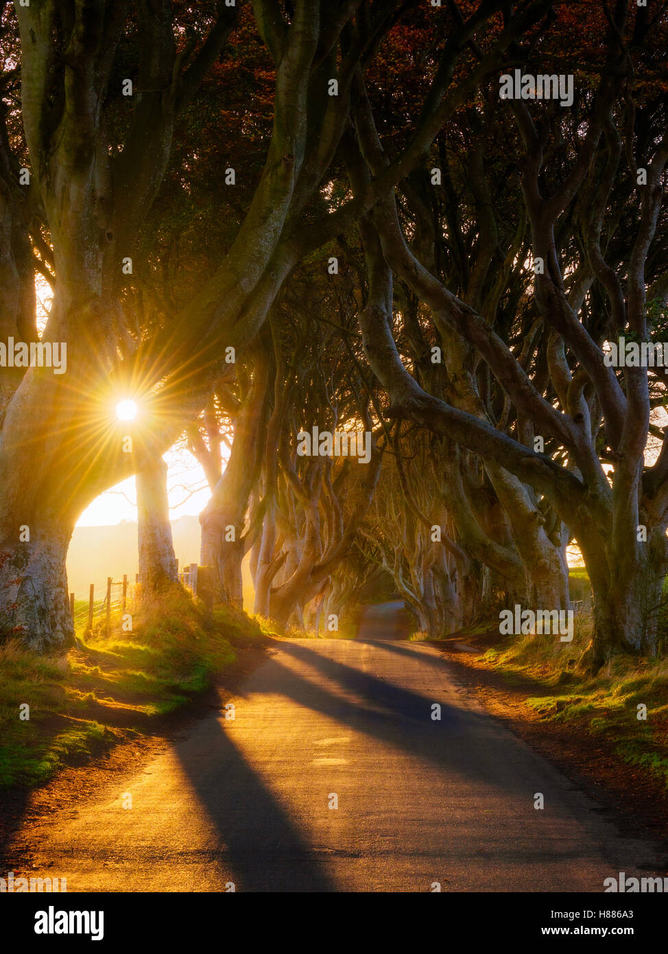The Dark Hedges - Atmospheric  tunnel-like avenue of intertwined beech trees. - Stock Image