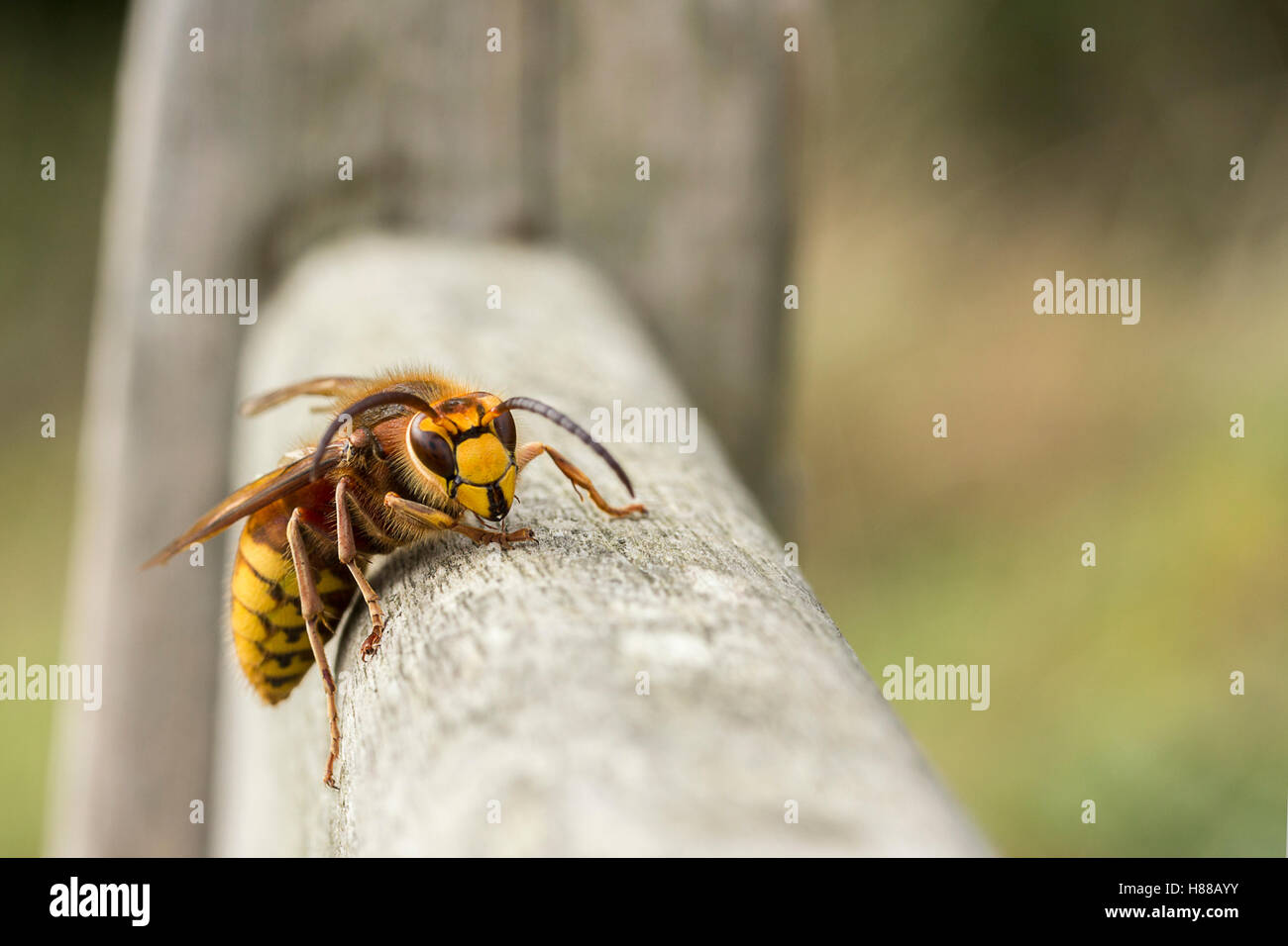 Hornet (Vespa Crabro) walking around on a wooden bench facing viewer  close up macro room for copy text on soft - Stock Image