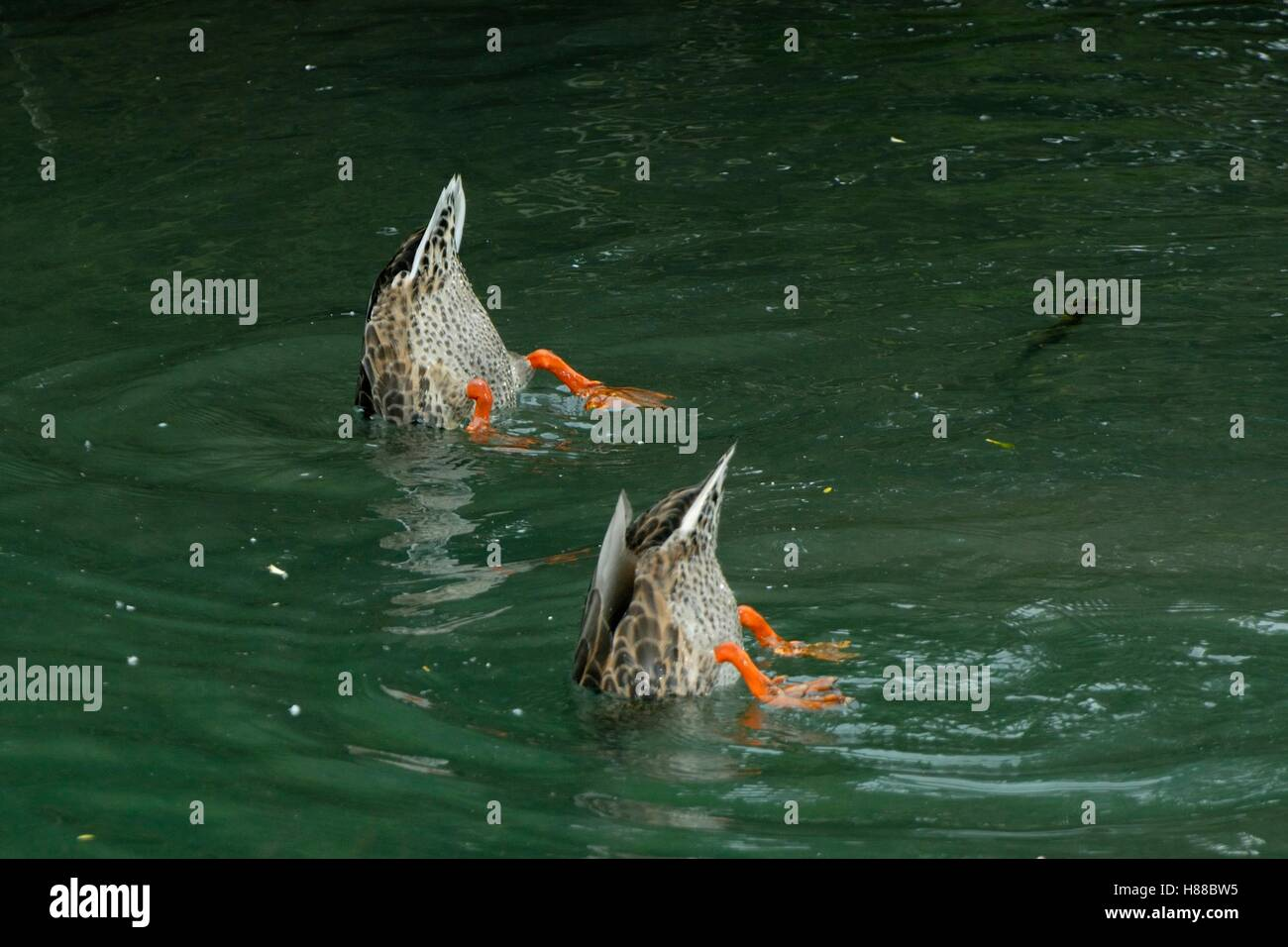 Synchronized duck swimming - Stock Image