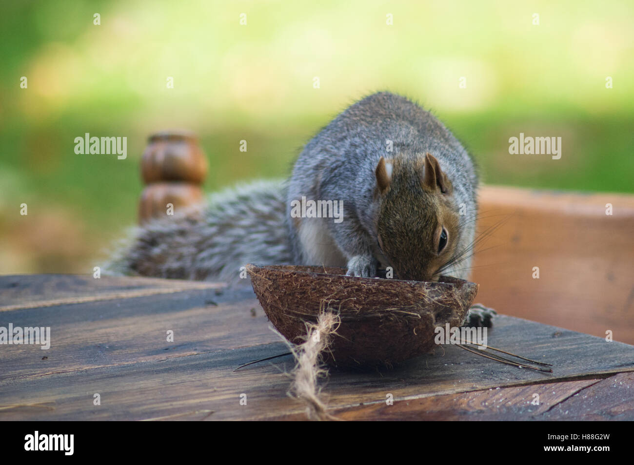 Grey squirrel in autumn feeding on coconut in a garden in Wales - Stock Image