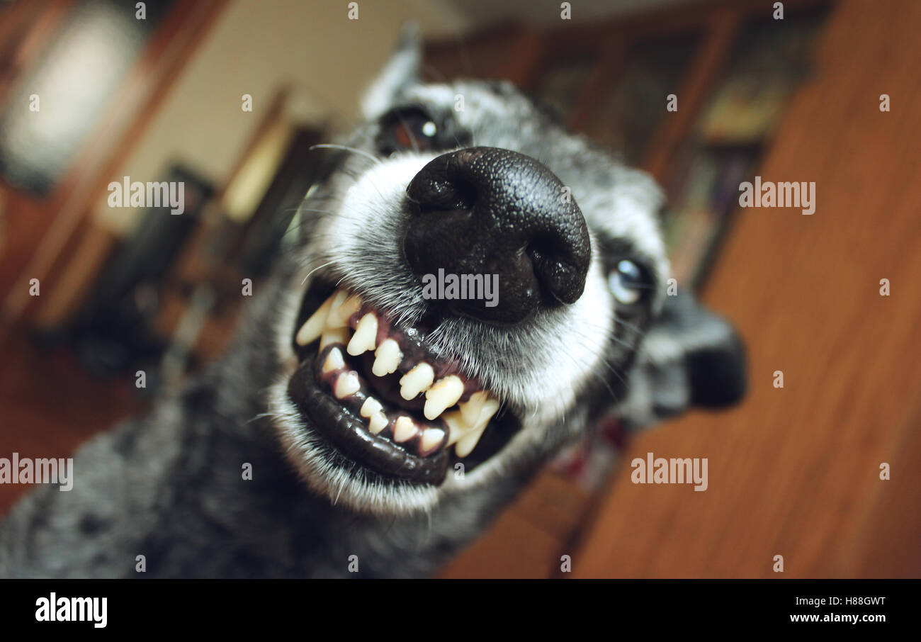 Grey shepherd grins in the house - Stock Image