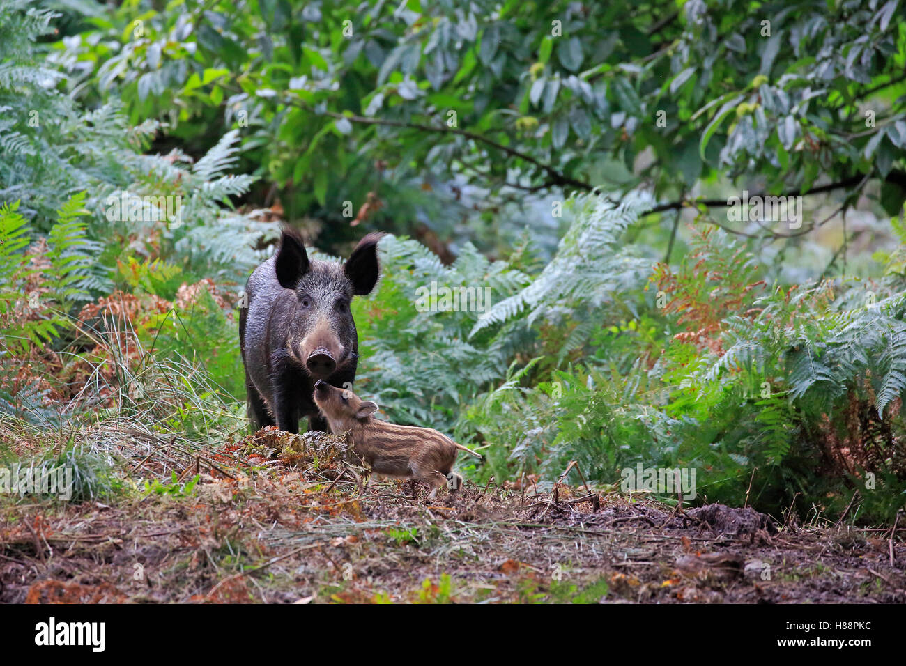 Female wild boar with piglet in the Forest of Dean - Stock Image