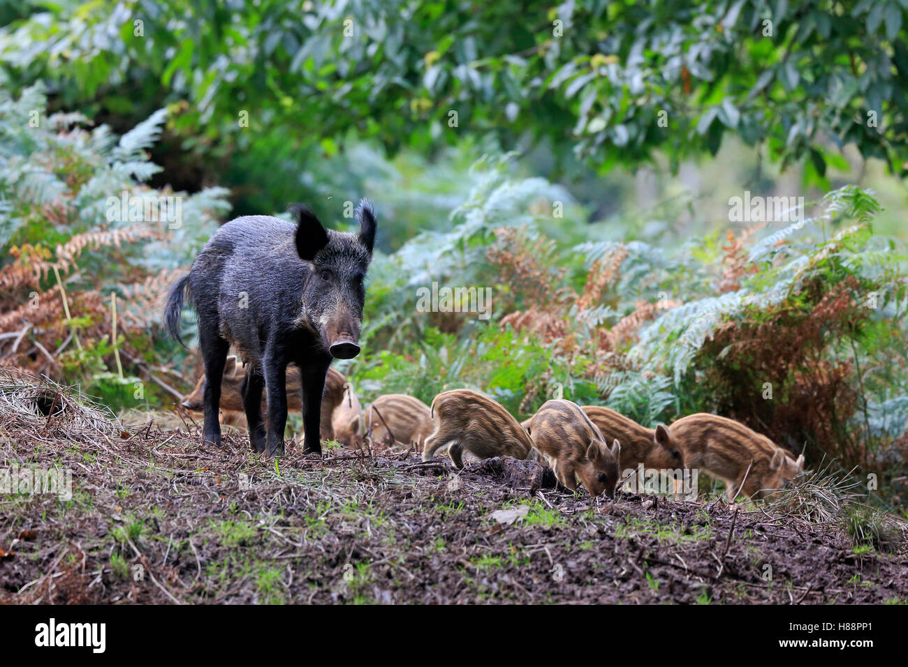 Female wild boar with piglets in the Forest of Dean - Stock Image
