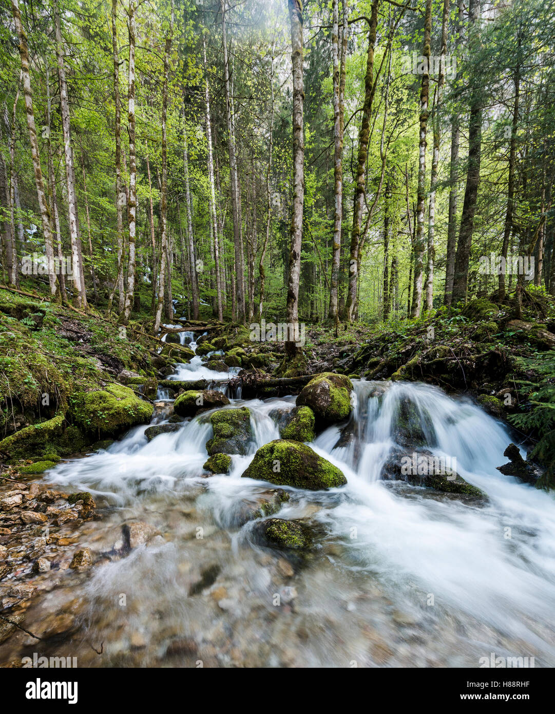 Stream running through forest, Röthbach, Röthbachfall, Schönau am Koenigssee, Berchtesgaden, Bavaria, - Stock Image