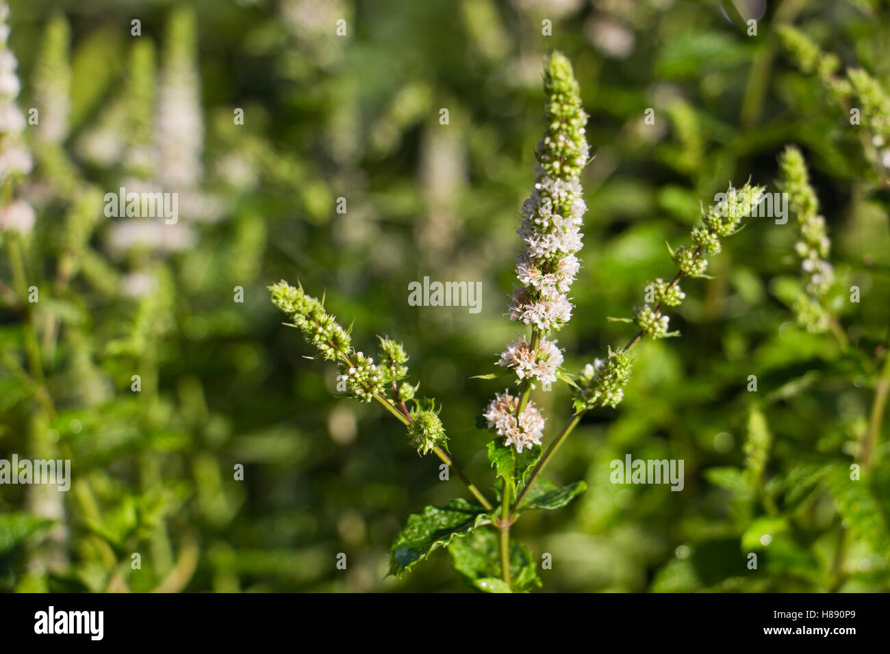August flowering white flower stock photos august flowering white white flowers of a mint plant in august uk stock image mightylinksfo