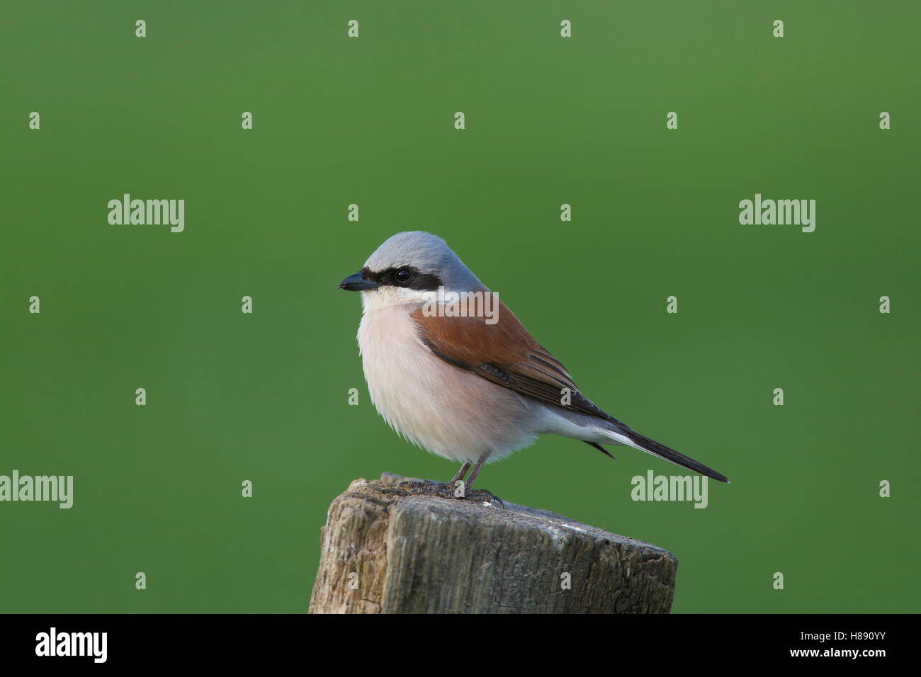 Red-backed shrike (Lanius collurio) male perched on wooden fence post in meadow in spring - Stock Image