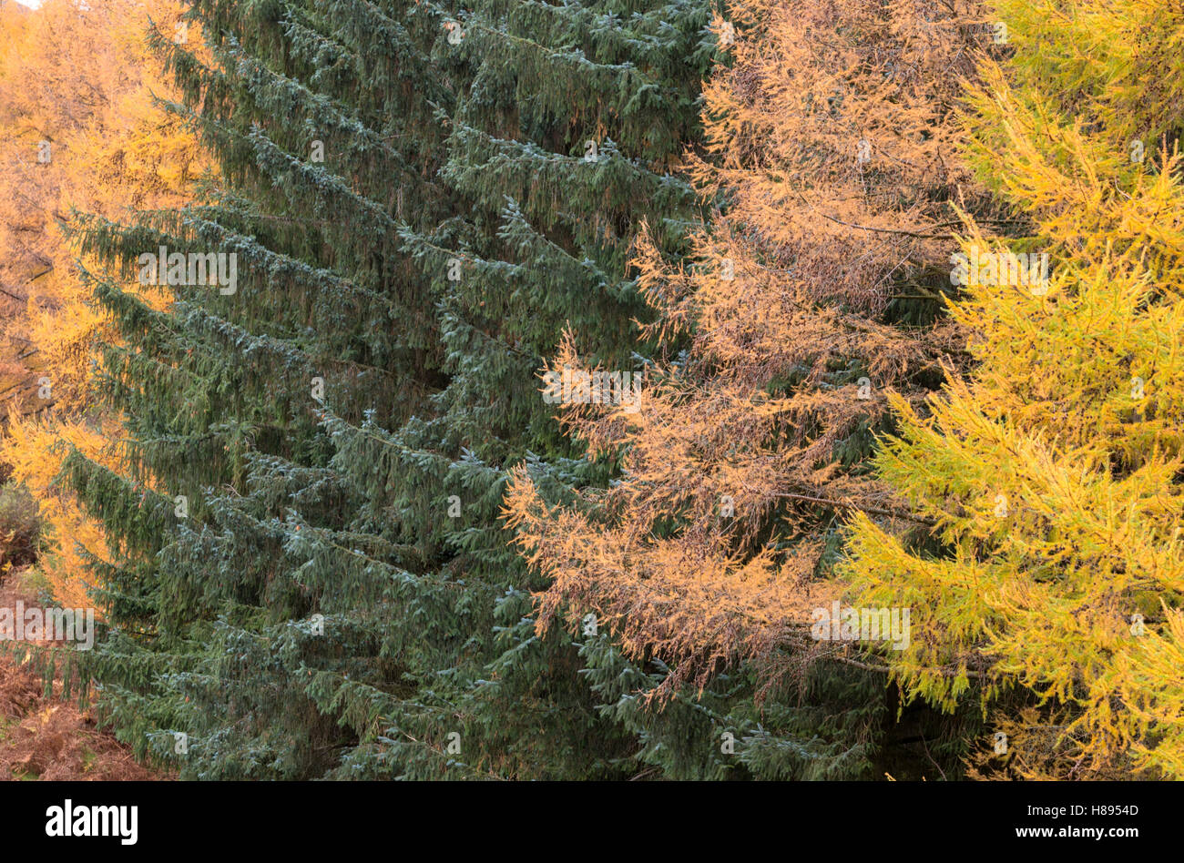 An autumn in a coniferous forests, Wales, UK - Stock Image