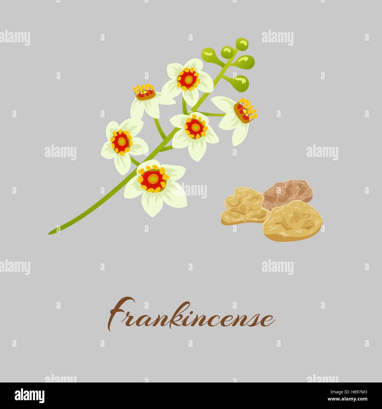 Boswellia tree flowers.  Fankincense. tree Vector illustration. - Stock Vector