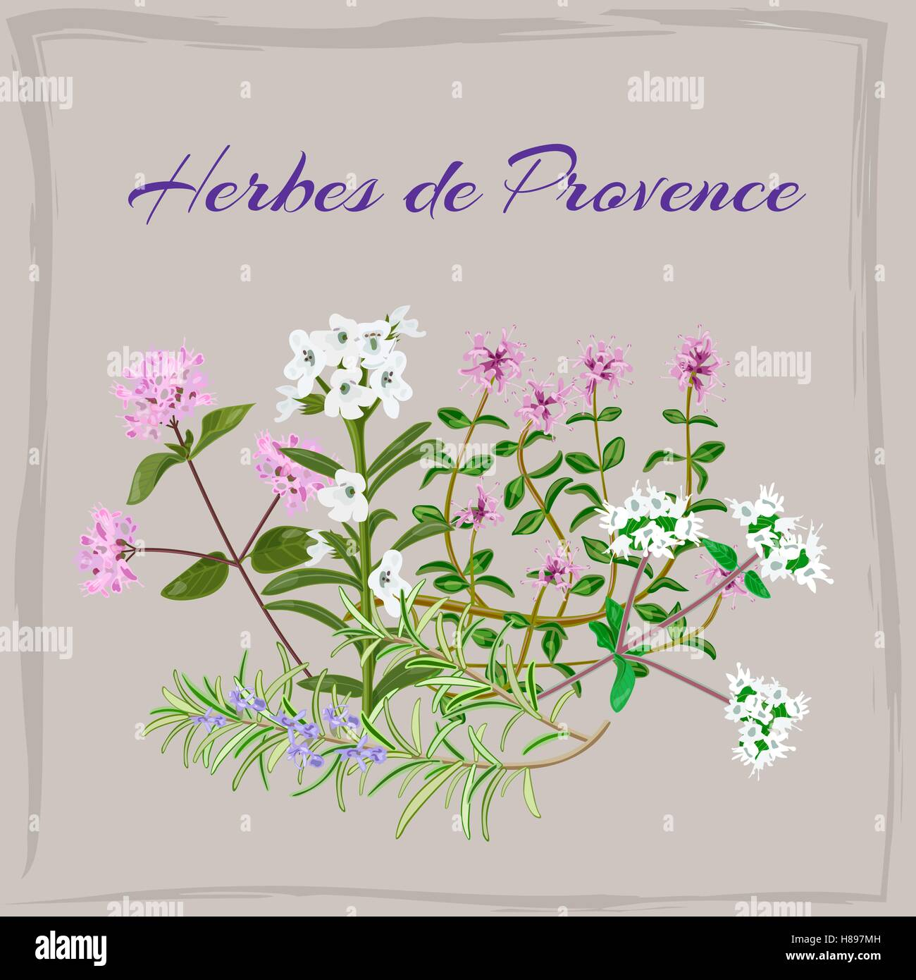 Herbes de Provence. Thyme, Savory, Oregano, Marjoram, Rosemary. Vector illustration. - Stock Vector