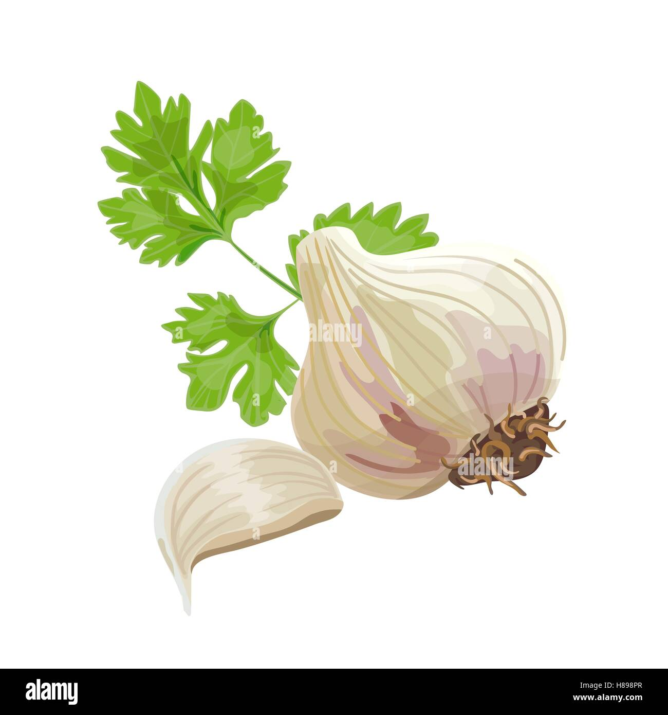 Whole garlic, one clove and parsley leaf isolated on white. Vector illustration. - Stock Vector