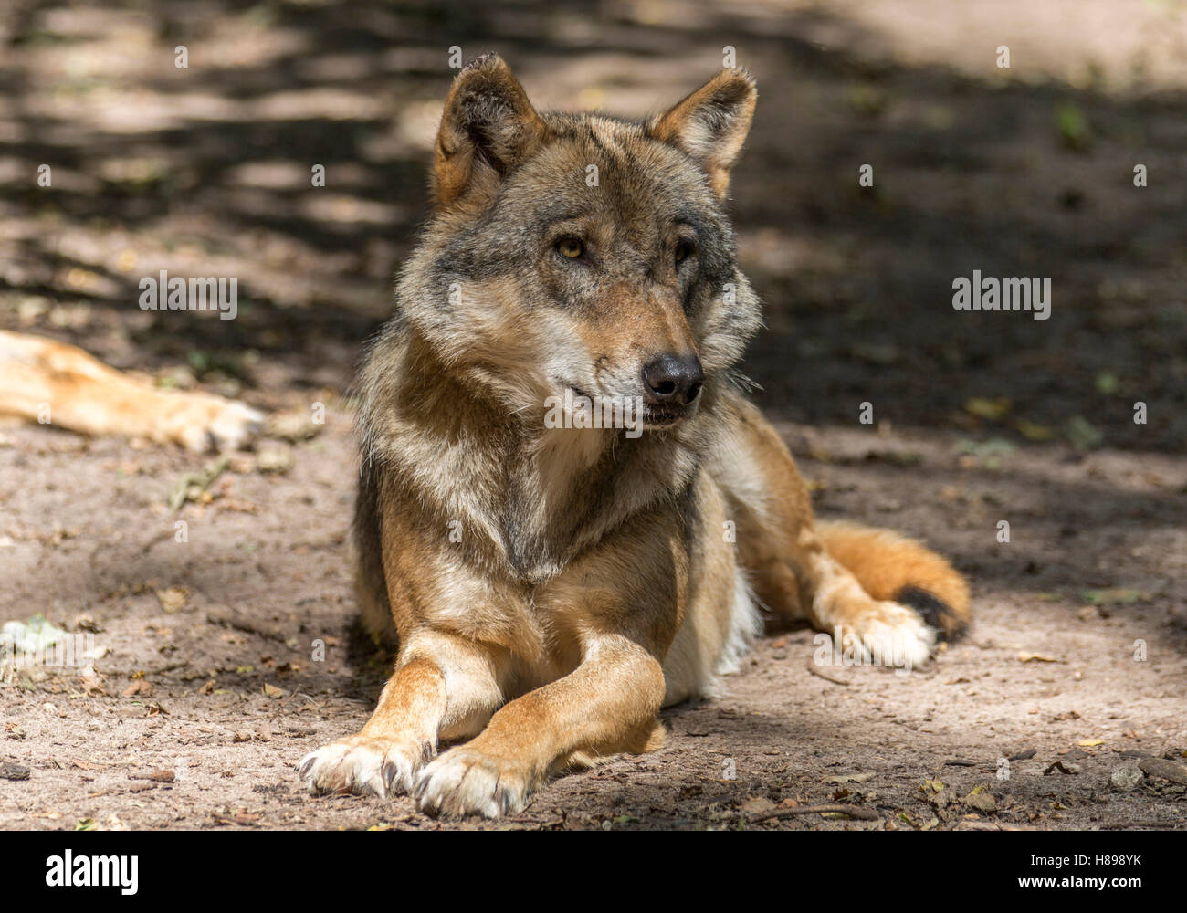 Cute wolf - Stock Image