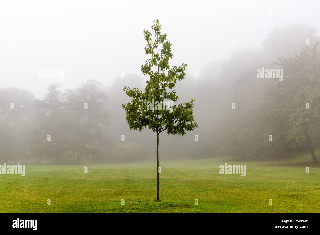 Lone tree in the morning mist - Stock Image
