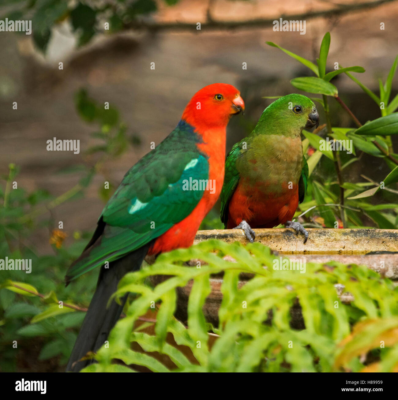Brightly coloured red & green male king parrot, Alisterus scapularis, with juvenile male at bird bath among - Stock Image
