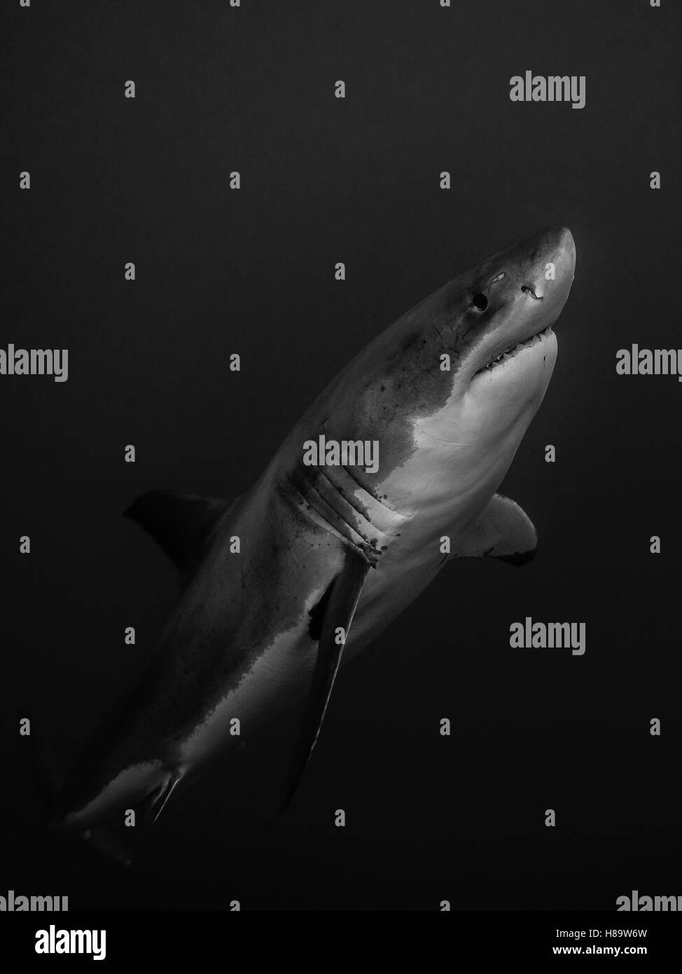 Great white shark emerging from the depths in the Pacific Ocean - Stock Image