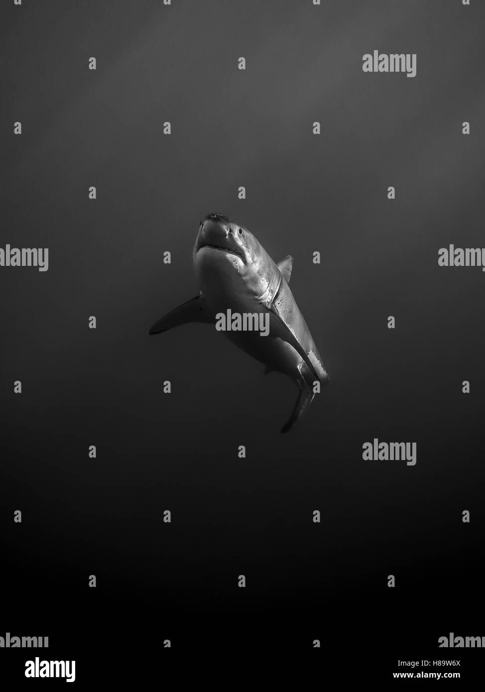 Great white shark alone in the dark in the Pacific Ocean at Guadalupe Island in Mexico - Stock Image