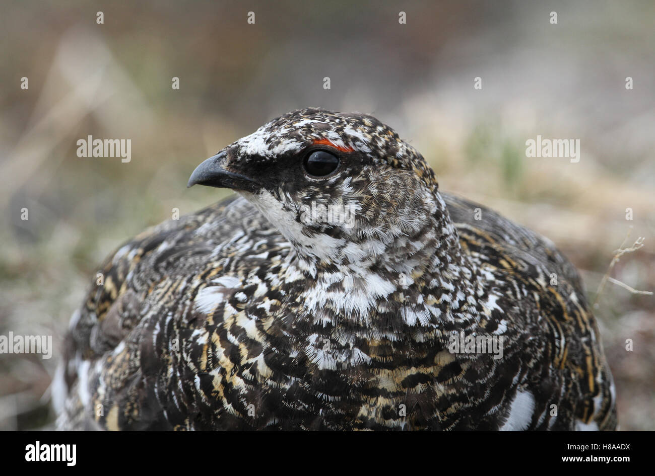 A male Ptarmigan (Lagopus mutus) in the Highlands of Scotland. - Stock Image