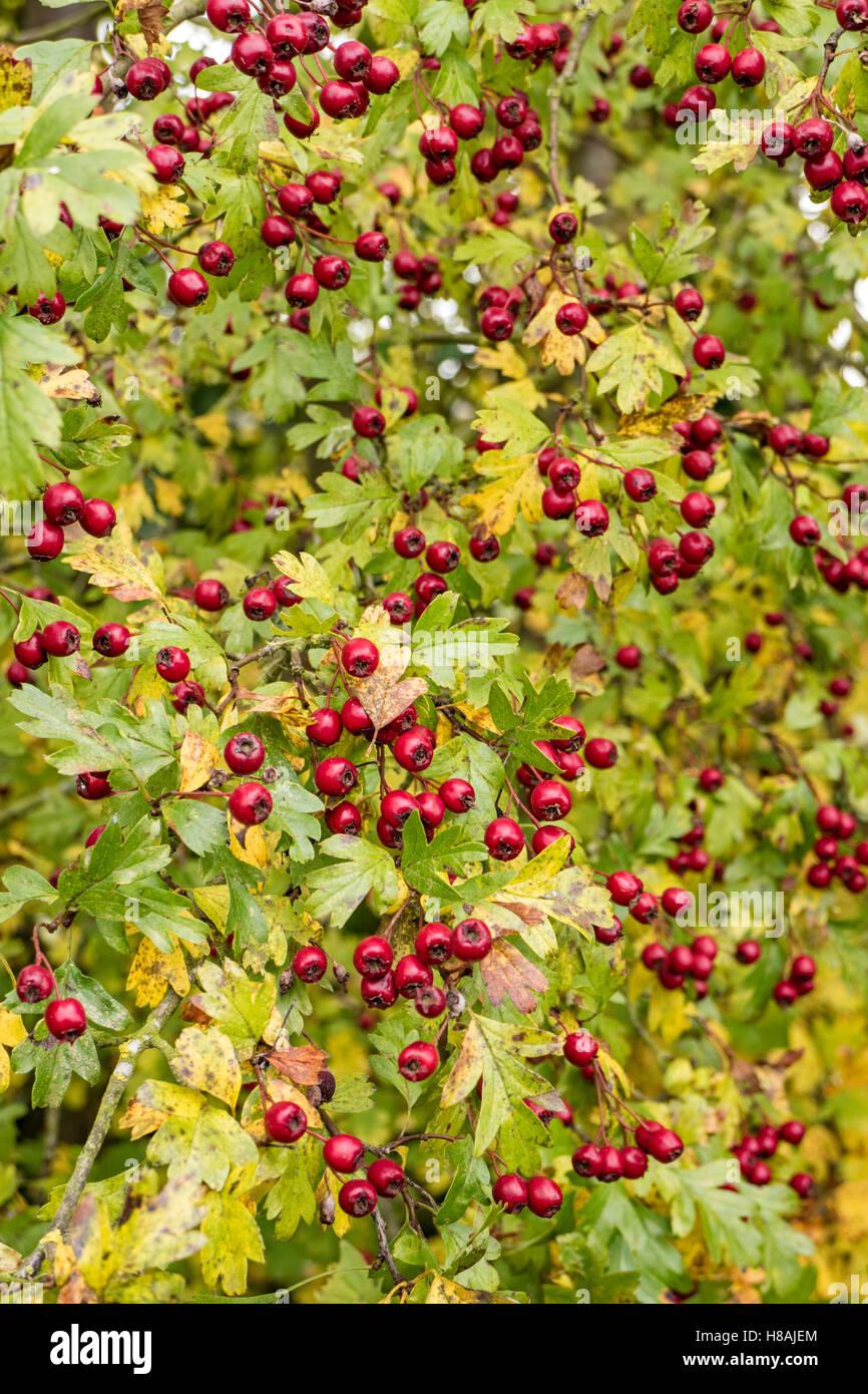 Berries on a Hawthorn tree (Crataegus monogyna). England, UK - Stock Image