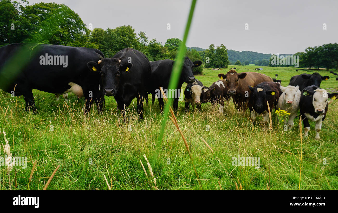 Animals in the wildlife cows and hedgehog in the forest land - Stock Image
