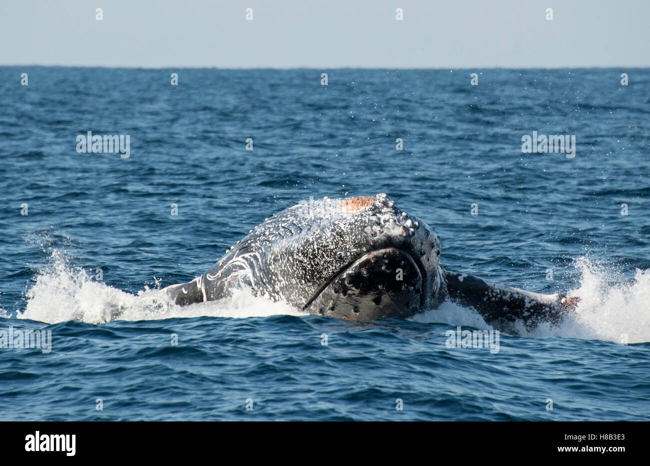 Humpback whale breaching off the east coast of South Africa during the sardine run season. - Stock Image