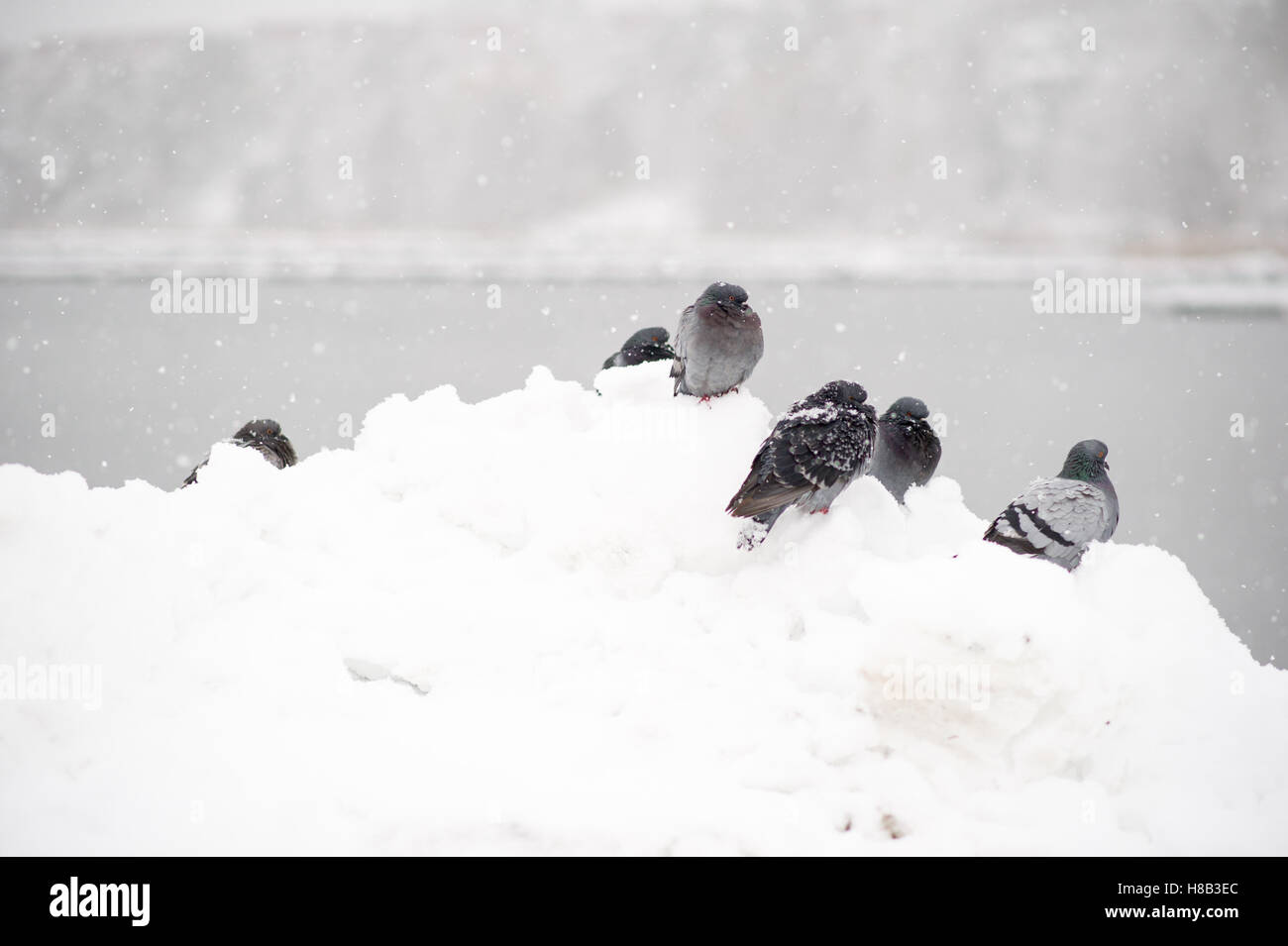 Freezing doves in a snowy Sweden. Stock Photo