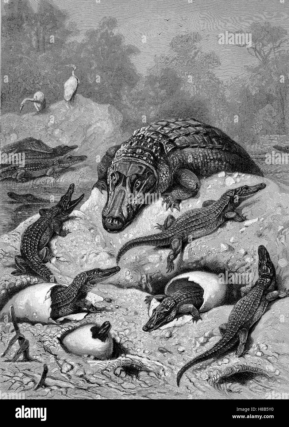 Breeding of alligators, eggs and newly hatched animals, Woodcut from 1892 - Stock Image