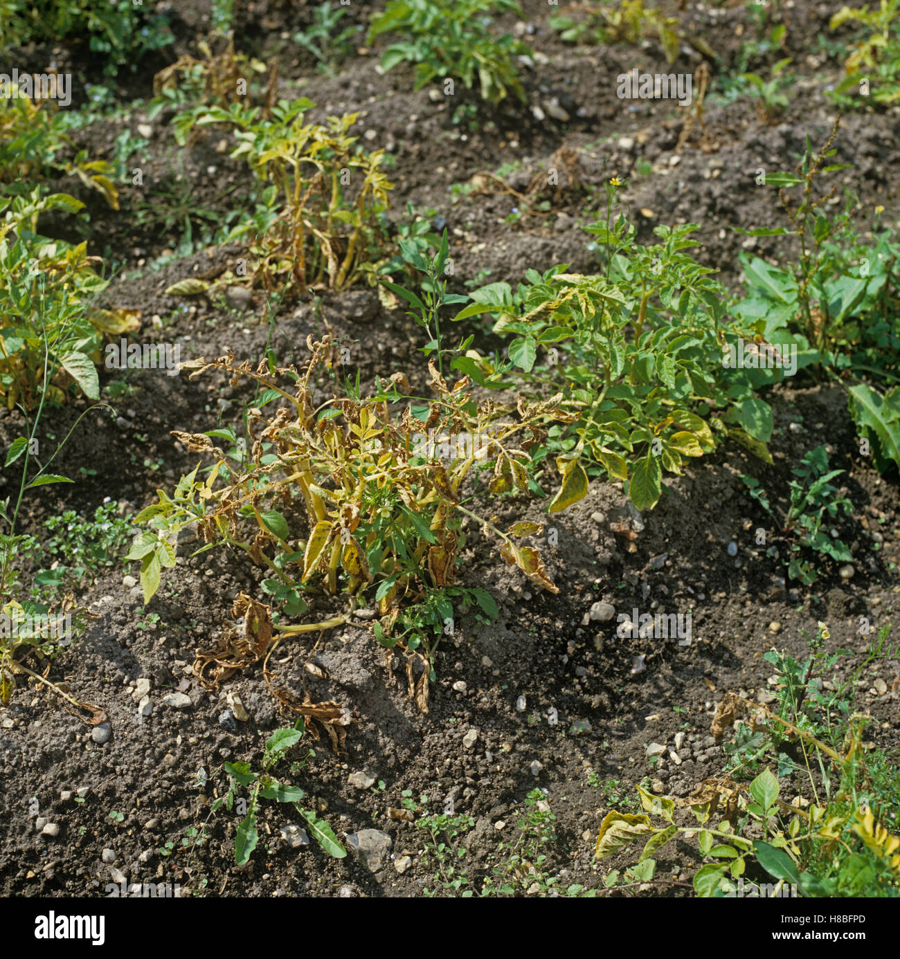 Severe late blight, Phytophthora infestans, damage to a potato crop - Stock Image