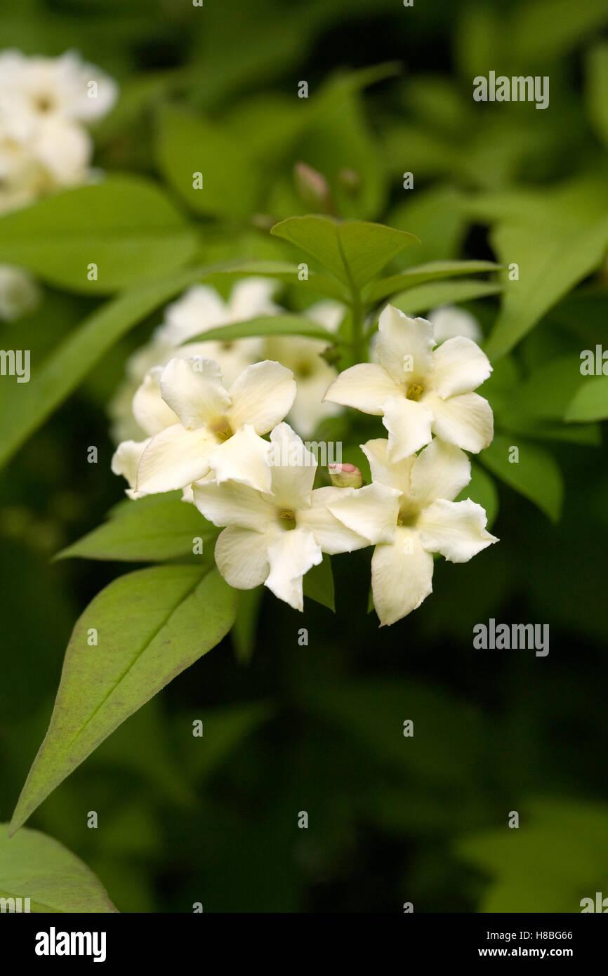 Jasminum officinale 'Devon Cream' growing outdoors in the summer. Summer flowering Jasmine. - Stock Image