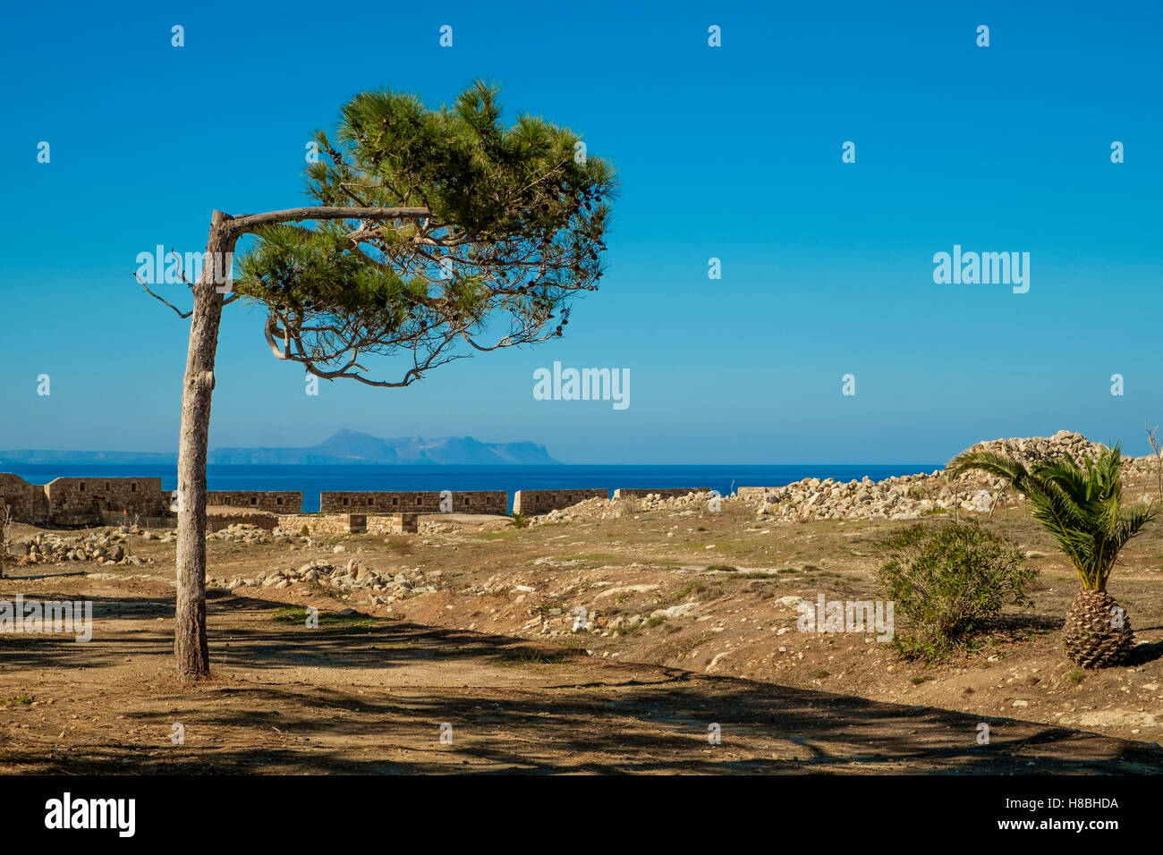 A crooked tree shaped by the prevailing wind in Rethymno on the island of Crete, Greece. Picture credit: Brian Hickey/Alamy - Stock Image