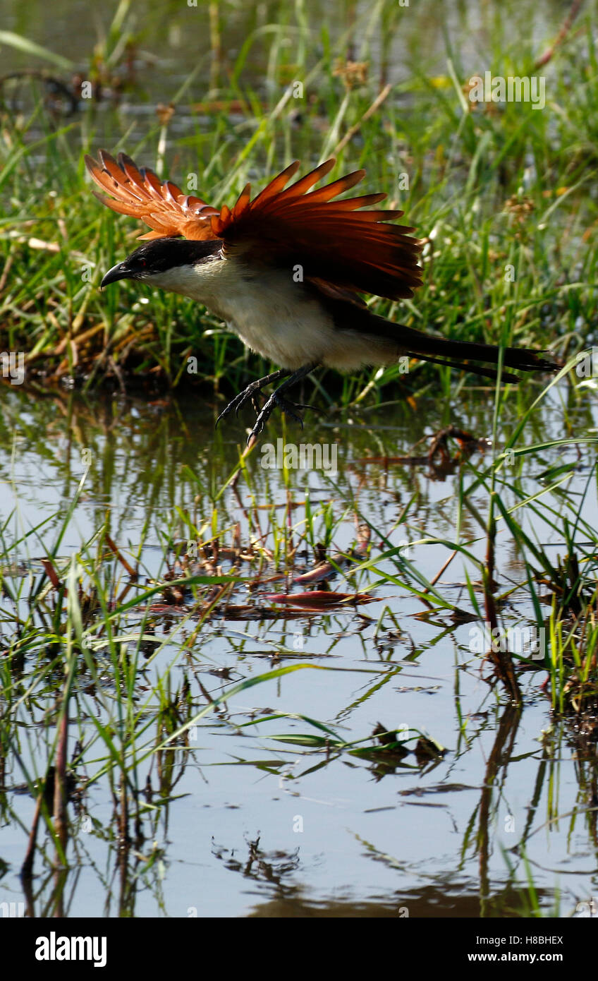 Coppery-tailed Coucal flying in to land, wings outstretched over the Okavango delta in Botswana - Stock Image