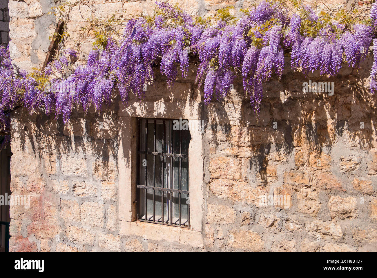 Wisteria on Mediterranean stone wall of old stone house in Montenegro. Stock Photo