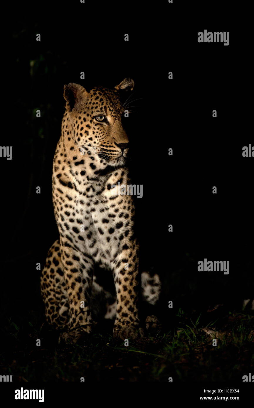 Male leopard portrait at night - Stock Image