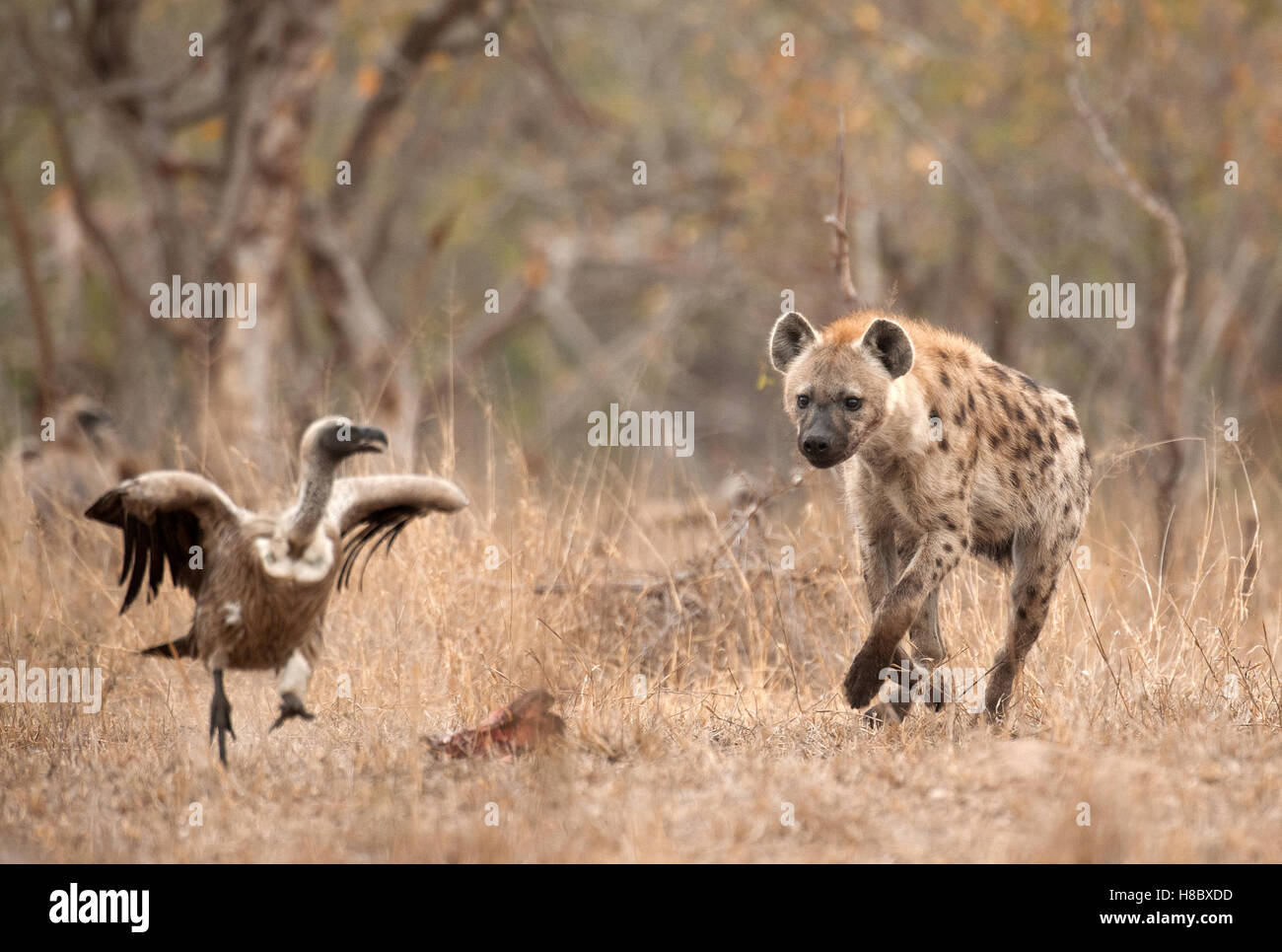 Spotted hyaena chasing vulture - Stock Image