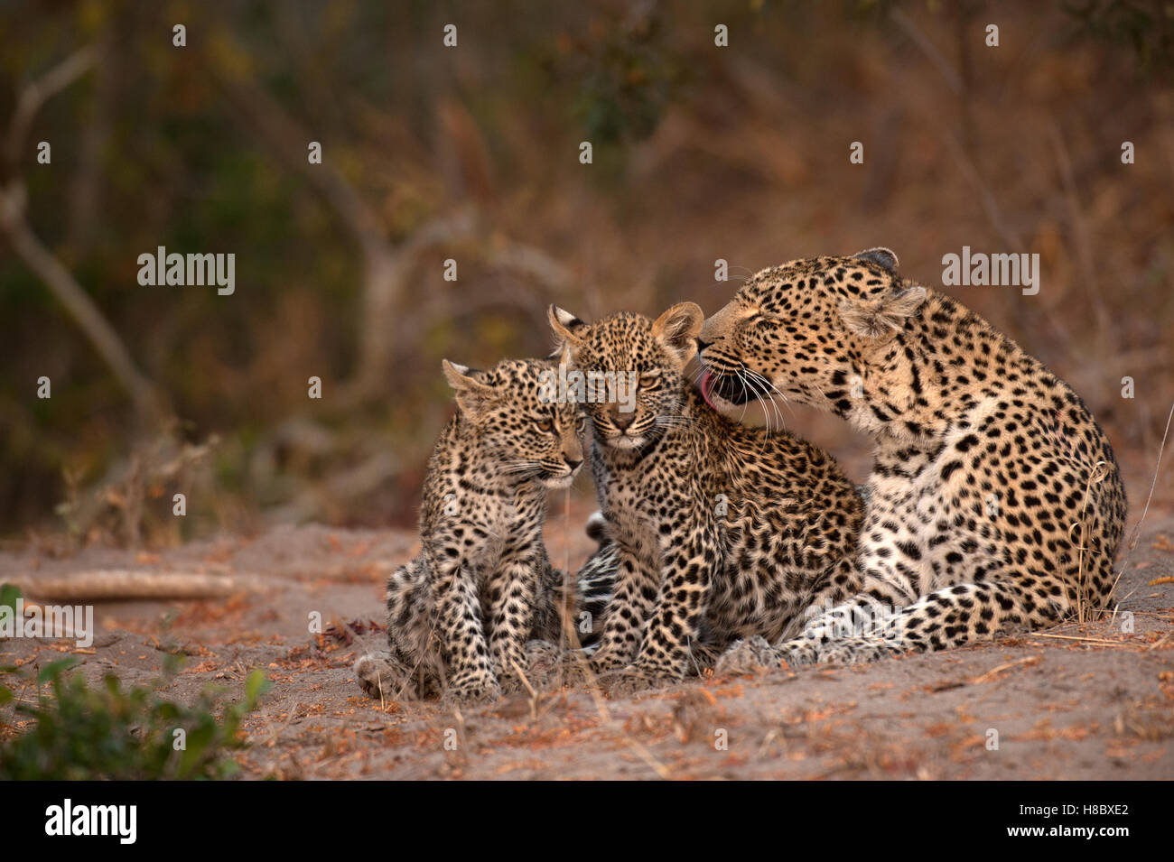 Adult female leopard (Panthera pardus) grooming her two cubs Stock Photo