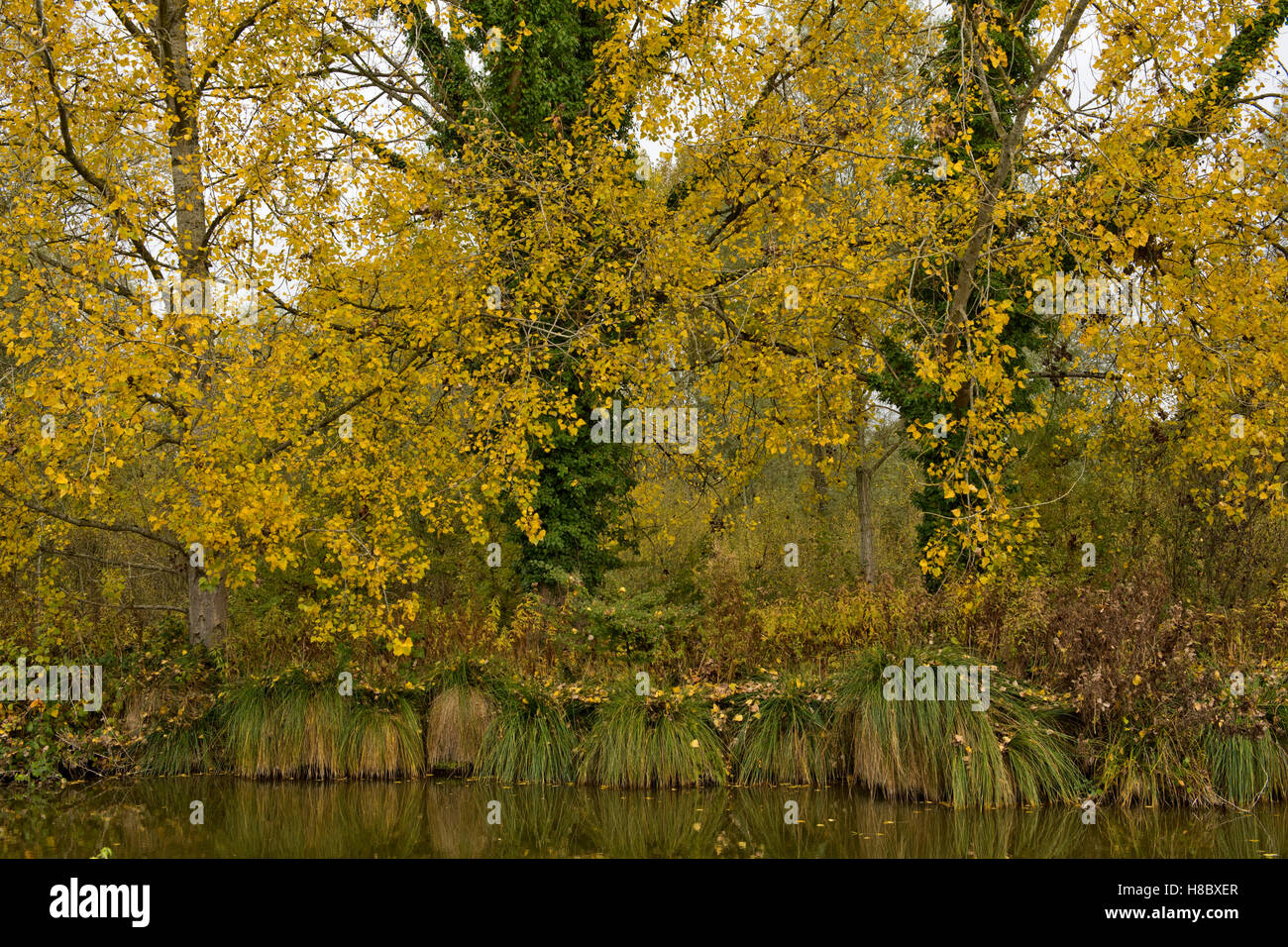 Black sedge tussocks along the bank of the Kennet & Avon Canal with poplar trees in autumn colour - Stock Image