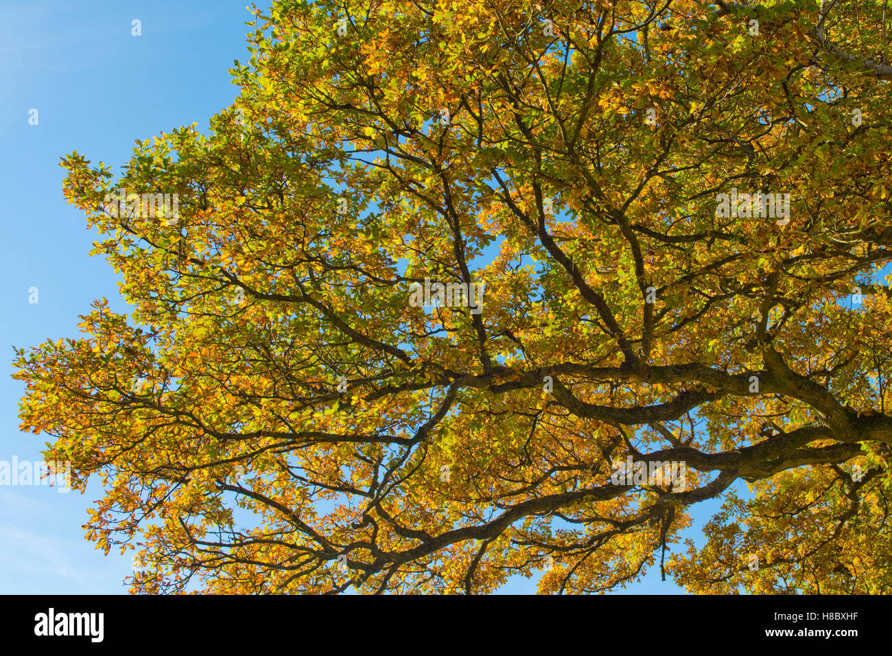 Green and gold leaves of an English oak tree against a blue sky in autumn, October - Stock Image