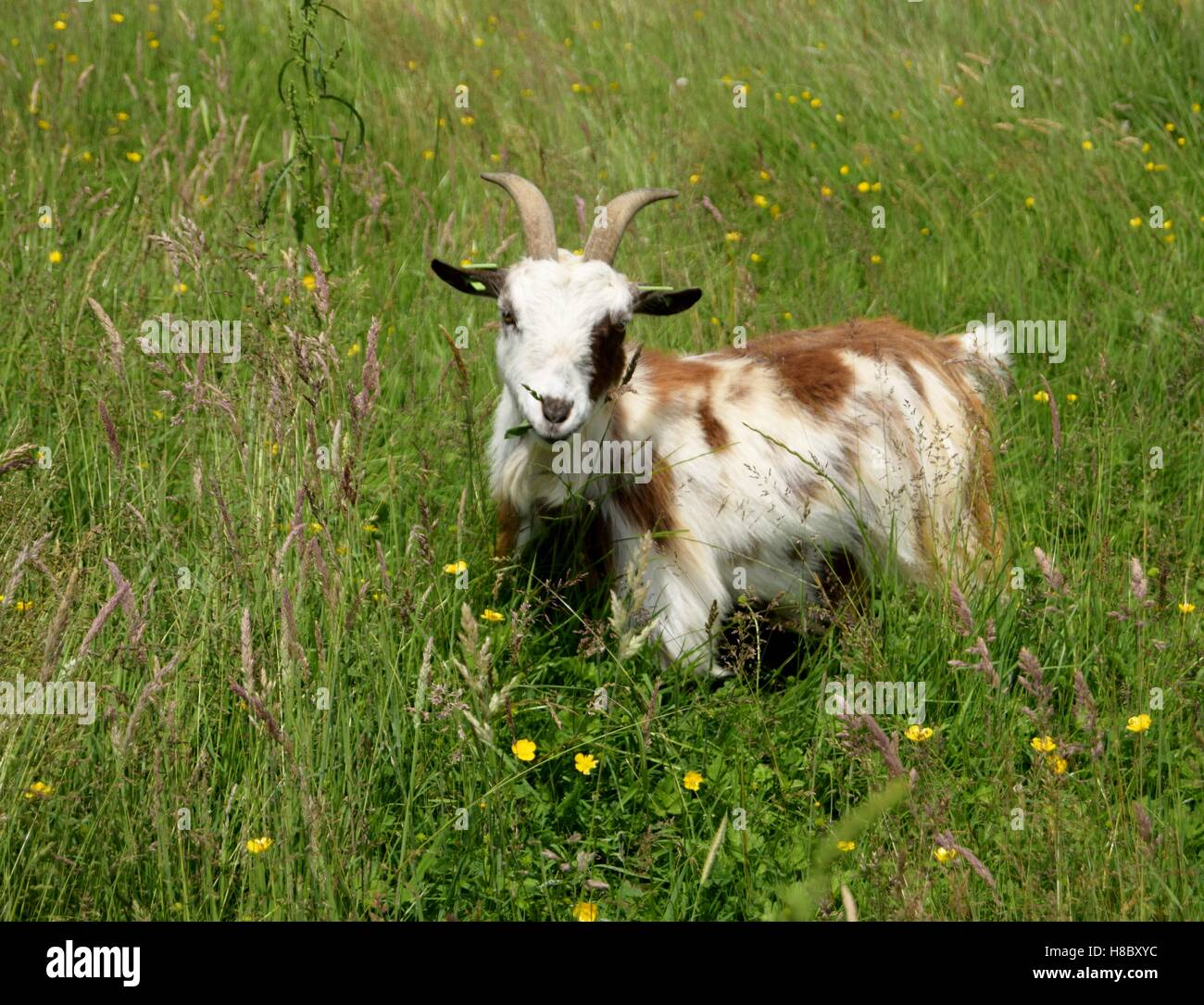 Female goat in our wild flower meadow. - Stock Image