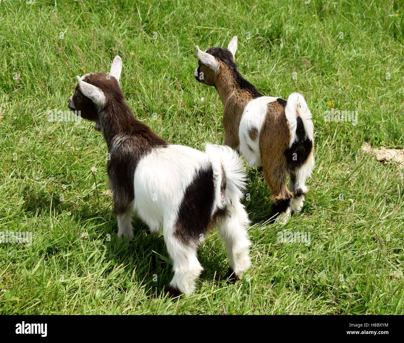Goat kids looking for their mother. - Stock Image