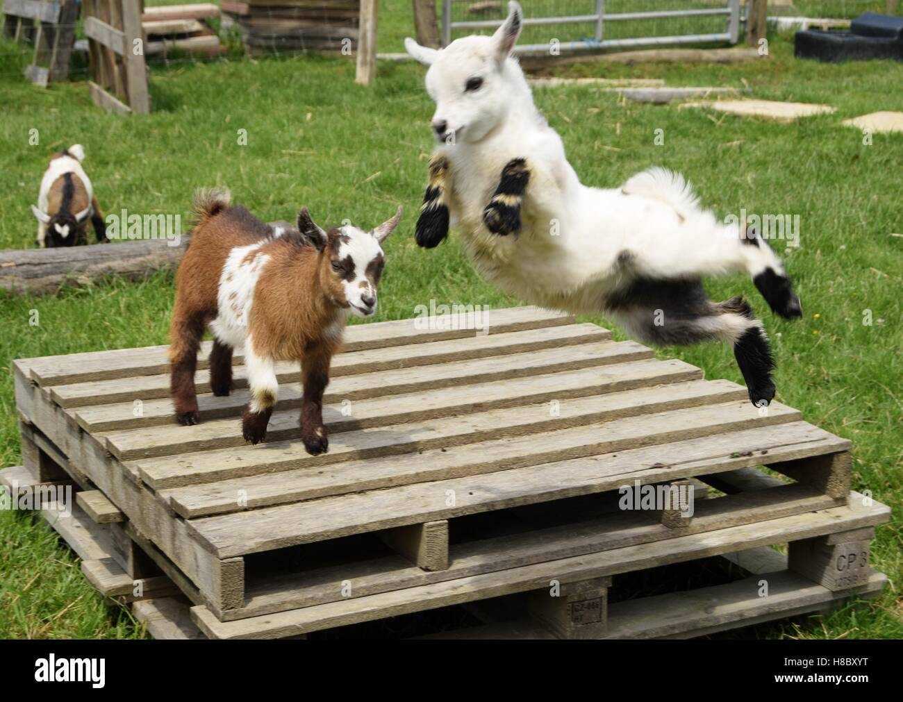 So glad to be alive. Alice the goat kid in mid air. - Stock Image