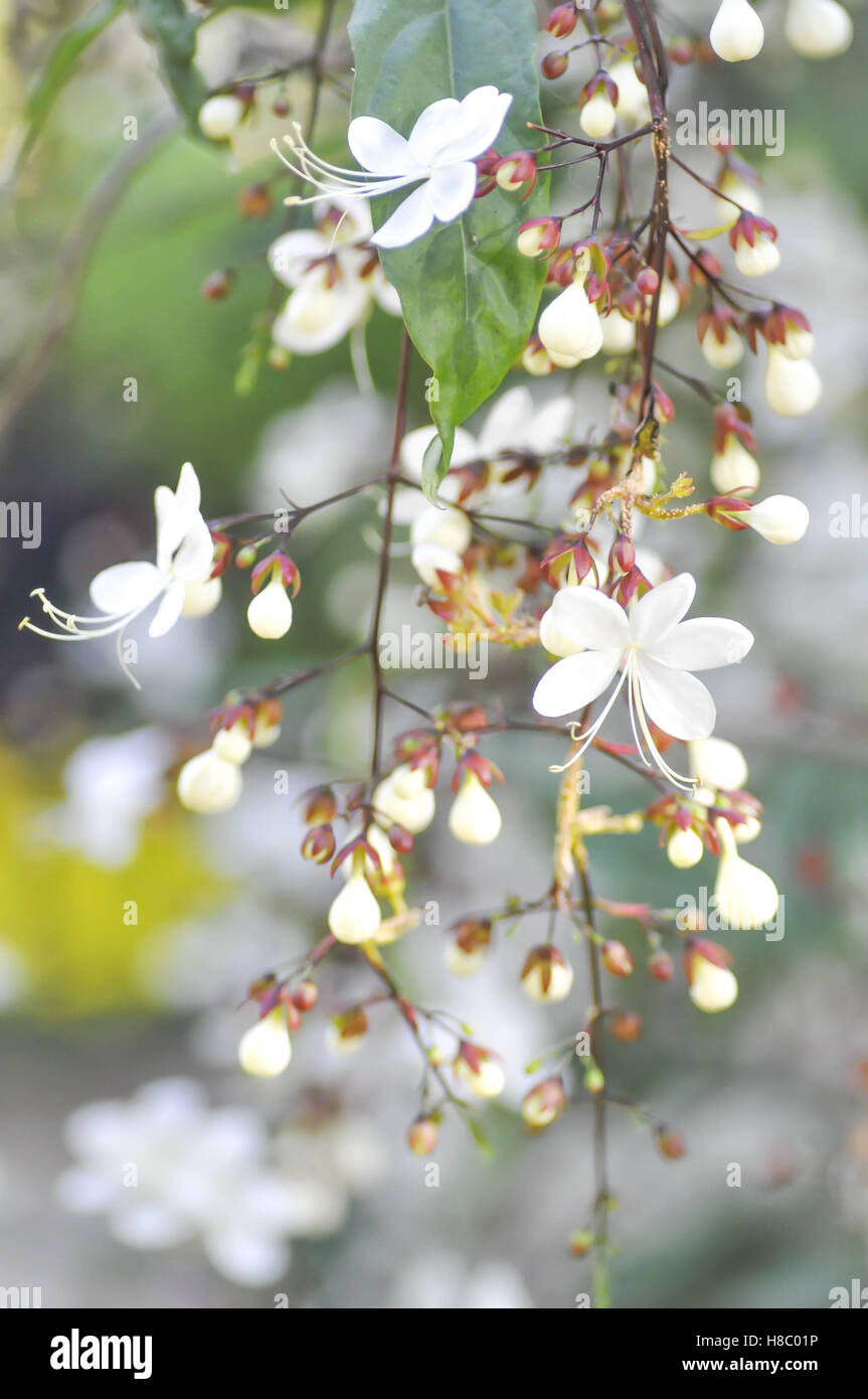 Nodding Clerodendron or Clerodendrum wallichii flower in blur background - Stock Image