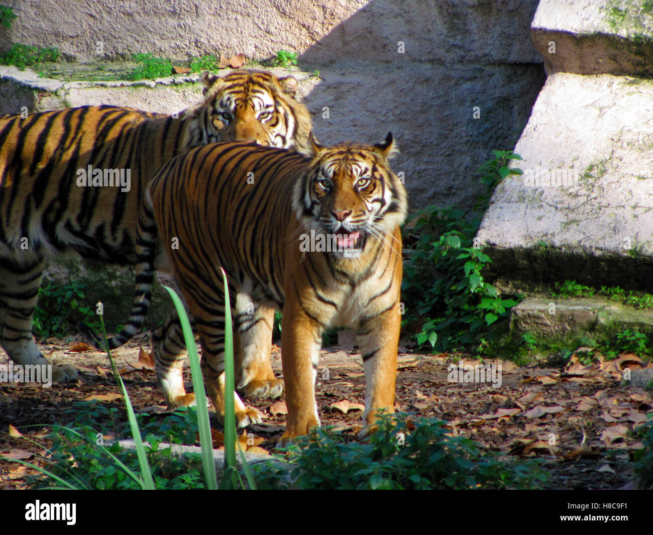 Tigers looking at camera. Barcelona Zoo, Spain - Stock Image